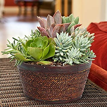 Large Mixed Succulent Garden In Wood And Wicker Basket   Live Plant   Green  Gift