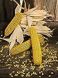Organic Reid's Yellow Dent Corn 25 LB ~57,000 seeds