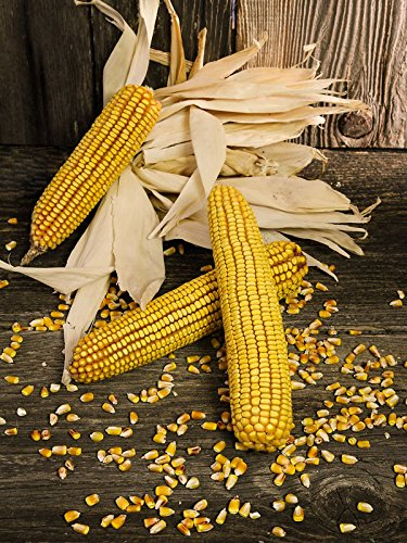 Organic Reid's Yellow Dent Corn 25 LB ~57,000 seeds by Sustainable Seed Company (Image #1)