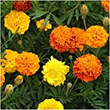 Package of 500 Seeds, French Marigold Petite Mixture (Tagetes patula) Non-GMO Seeds By Seed Needs