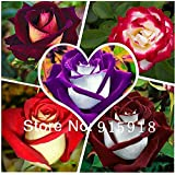 The Best Seller 1,000 seeds rose seeds 5 Different Colors Rare Osiria Rose, per package 200 seeds Home & Garden+ Mysterious Gift.