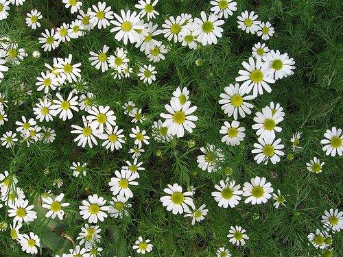 ThriftyHut.com Heirloom Organic Anthemis Nobilis Roman Chamomile, 100 Seeds