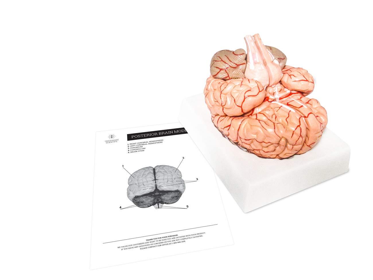 3D Anatomy Brain Model for Teaching by Trademark Scientific