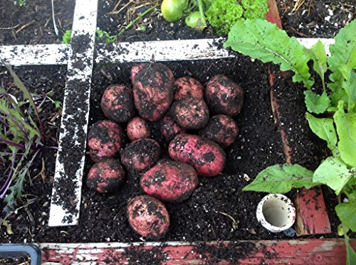 Simply Seed - 5 LB - Red Pontiac Potato Seed - Non GMO - Organic Grown - Order Now For Spring Plantin