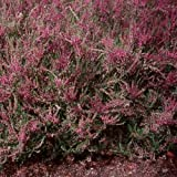 Heather (Calluna Vulgaris)- 50 Seeds