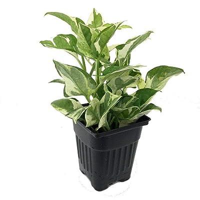 "AchmadAnam - Live Plant Houseplant Pearls & Jade Double Dip Devil's Ivy Epipremnum Aureum 4"" Pot : Garden & Outdoor"