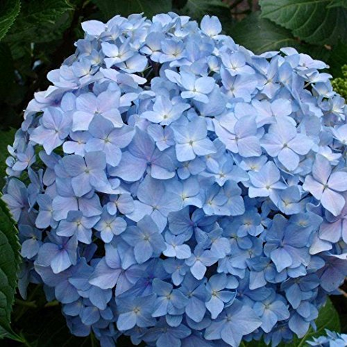 Hydrangea Potted Plant - 20 pcs Hydrangea Seed Bonsai Flower Seeds Hydrangea Perennial Garden Home Potted Flower Plant Rare Seeds