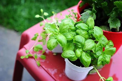 Mini Jardín - Albahaca Verde - para Culturas Balcón y Terraza -: Amazon.es: Jardín