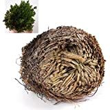 Stunning Resurrection Plant Rose Of Jericho Dinosaur Plant Air Fern Spike Moss No.45