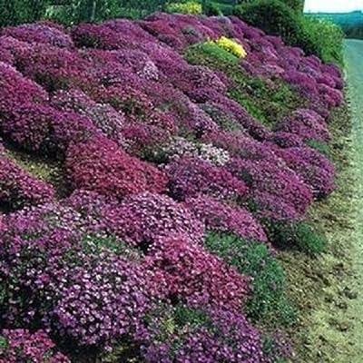 100 Seeds of Rock Cress Cascading Red Purple Mix Aubrieta (PERENNIAL) : Garden & Outdoor