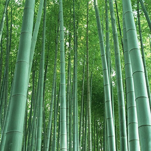 Giant bamboo (moso bamboo) / 50 seeds / winter hardy / grows 10 meters high in record time / Ideal as privacy & wind (Hardy Bamboo)