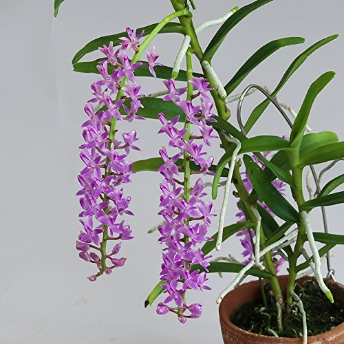 Micropera rostrata -Easy to grow! collector's item! Fragrant! Long Lasting- orchid plant by Kawamoto Orchid Nursery