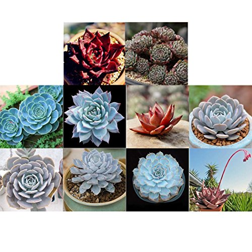 Youcoco New Nice Adorable Flower Fragrant Seeds Blooms Radiation Protection Succulent Plants Seeds Flowers by Youcoco