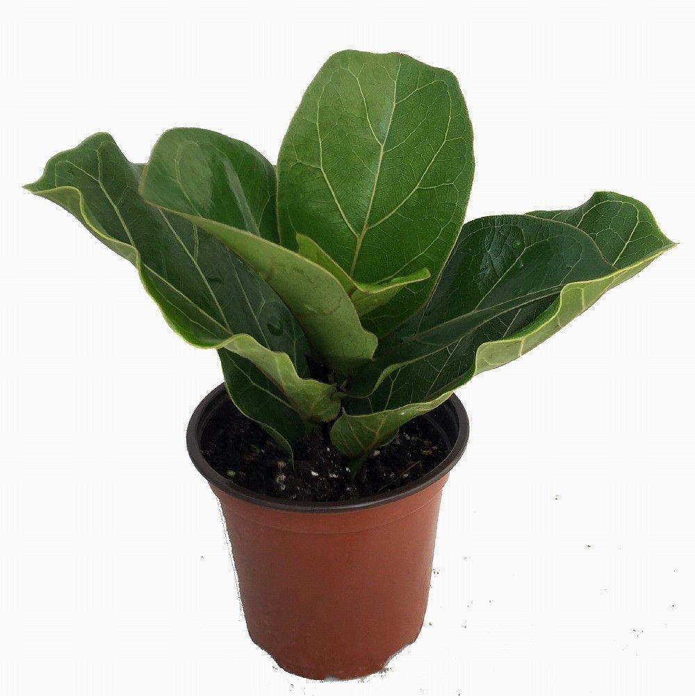 amazon com hirt u0027s fiddleleaf fig tree ficus great indoor tree