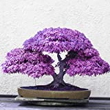 Adarl 20 pcs / Bag Rare Japan Maple Seed Bonsai Maple SeedsTree Seeds Balcony Plants For Home Garden Purple