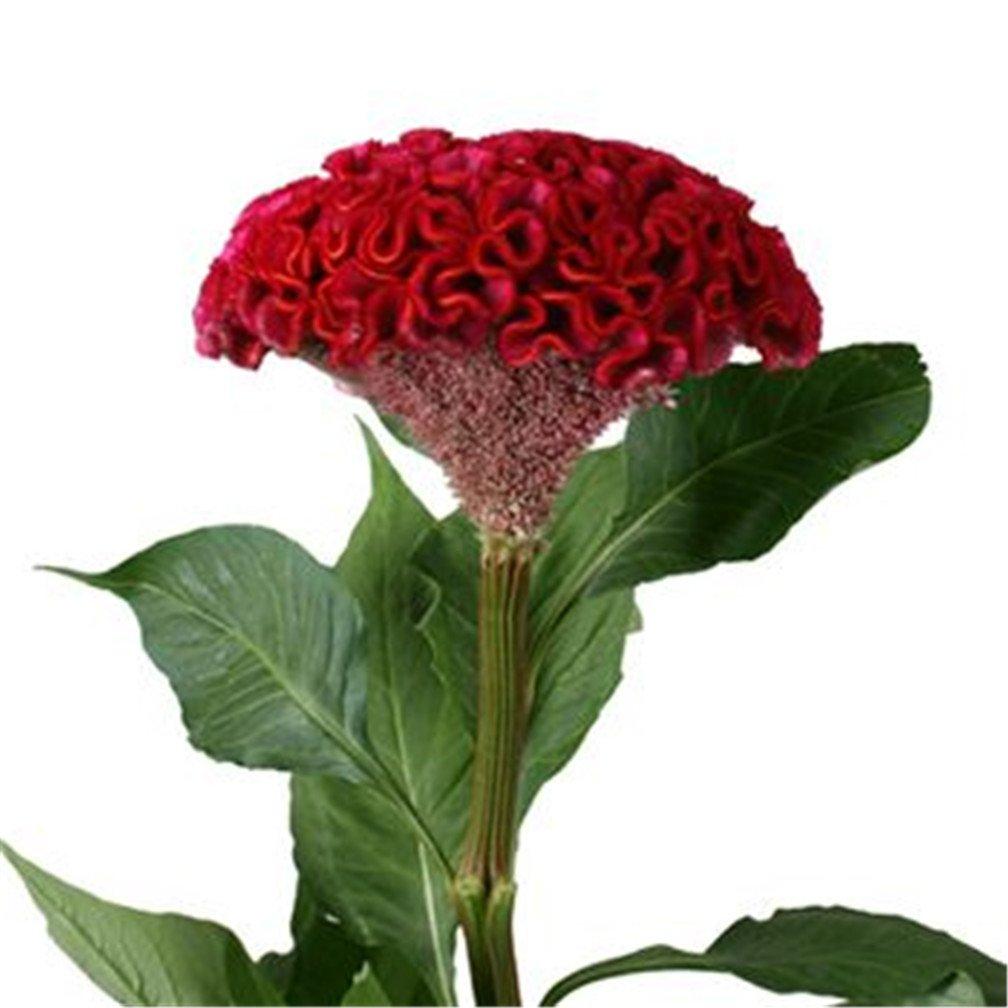 Amazon 1000 Giant Red Cockscomb Flower Seeds Red Velvet