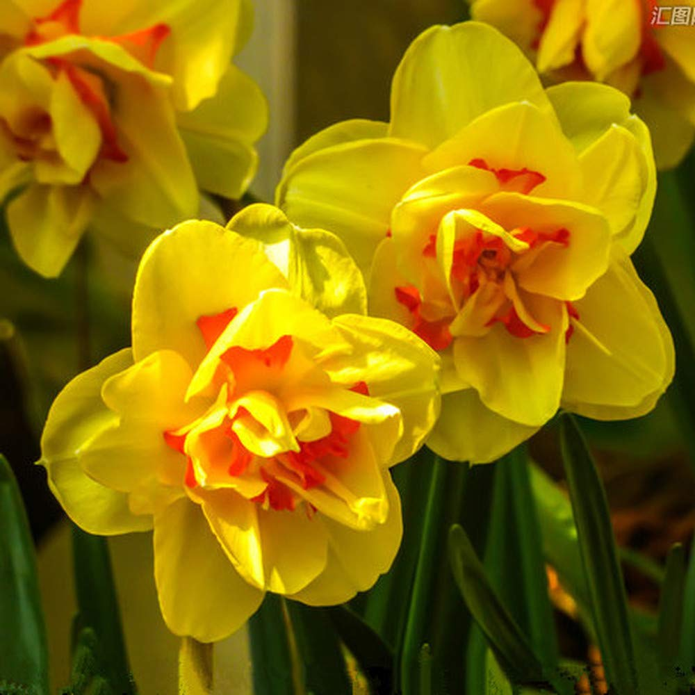5Pcs Daffodil Bulbs Flowering Plant Yellow Narcissus Bulbs Hardy Perennial Plants Very Fragrant Spring Flowers