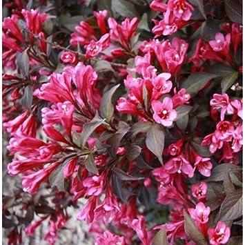 3x garden shrub plants weigela purpurea dark pink trumpet shaped 3x garden shrub plants weigela purpurea dark pink trumpet shaped flowers in summer mightylinksfo