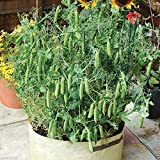 "Heirloom (Open Pollinated) 'Tom Thumb' Dwarf Shelling Pea,excellent for Pots 6-8"" [30 Seeds]"