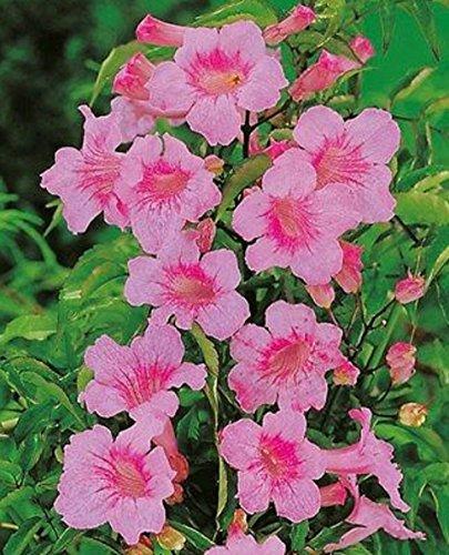 "PODRANEA - PINK TRUMPET VINE - PINK DELIGHT - 1 PLANT - 4.5"" QUART POTS"