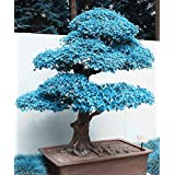 Big Sales!!! 20pcs blue maple seeds chinese rare blue bonsai maple tree seeds Bonsai Plants Trees for flower pot planters