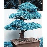 Big Sales!!! 20pcs blue maple seeds chinese rare blue bonsai maple tree seeds Bonsai Plants Trees for flower pot planters