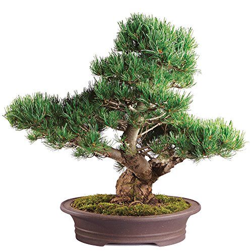 - Brussel's Live Japanese Five Needle Pine Specimen Outdoor Bonsai Tree - 40 Years Old; 13