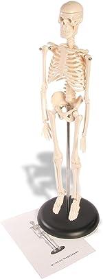 American Educational Skeleton Model, 17