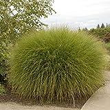 Maiden Grass Gracillimus > Miscanthus sinensis 'Gracillimus' >Landscape Ready 1 gallon Container