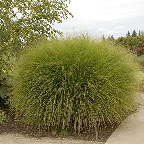 Maiden Grass Gracillimus > Miscanthus sinensis 'Gracillimus' >Landscape Ready 1 gallon Container