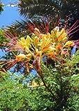 Tropica - Ave del paraíso (Caesalpinia gillesii X spinosa) - 15 Semillas