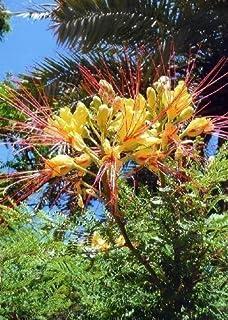Pfauenstrauch Caesalpinia pulcherrima Pflanze 20cm Stolz von Barbados Rarität