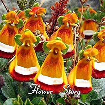 30 Calceolaria seeds --Yellow Slipper Flower ,Ladys purse, Slipper flower , Pocketbook, rare ,beautiful