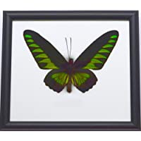 Real Trogonoptera Brookiana Rajah Butterfly Mounts Animals Display Insect Taxidermy in Framed