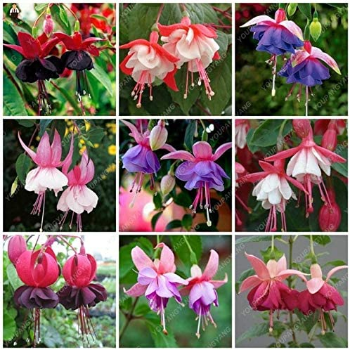 50Pcs Semillas fucsias Jardín Balcón Linternas Flores Begonia Malus Spectabilis Semillas Flores decorativas de flores: Negro: Amazon.es: Jardín