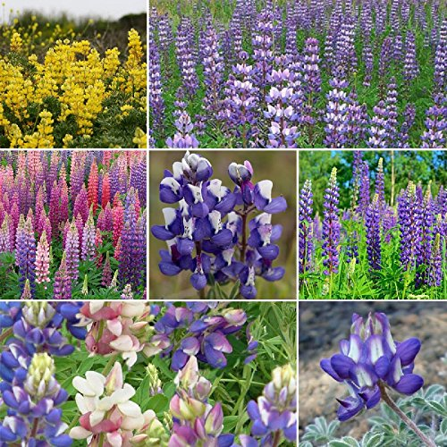 Loopy - Lupine Flower Seed Mix - 5 Pounds, Bulk, Mixed by Eden Brothers (Image #1)