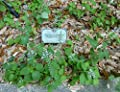 Heartleaf Skullcap (Scutellaria ovata subsp. bracteata) 100 Seeds