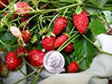 100 ALPINE STRAWBERRY Fragaria Vesca Fruit White Flower Seeds + Gift & Comb S/H