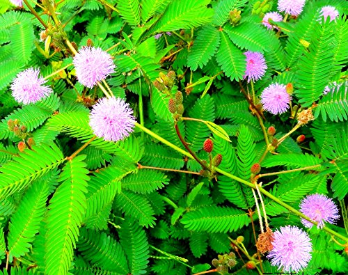 (Package of 100 Seeds, Sensitive Plant Seeds- Mimosa Pudica, Moving Plant, Shy Plant, Shameful Plant, Touch-me-not - Green Plant for Garden Decoration)