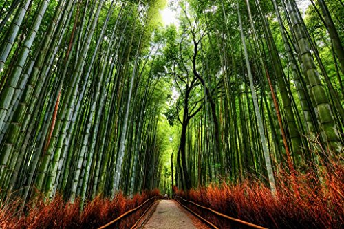 Bamboo Forest Trees with Path in Kyoto Japan Photo Art Print Mural Giant Poster 54x36 inch