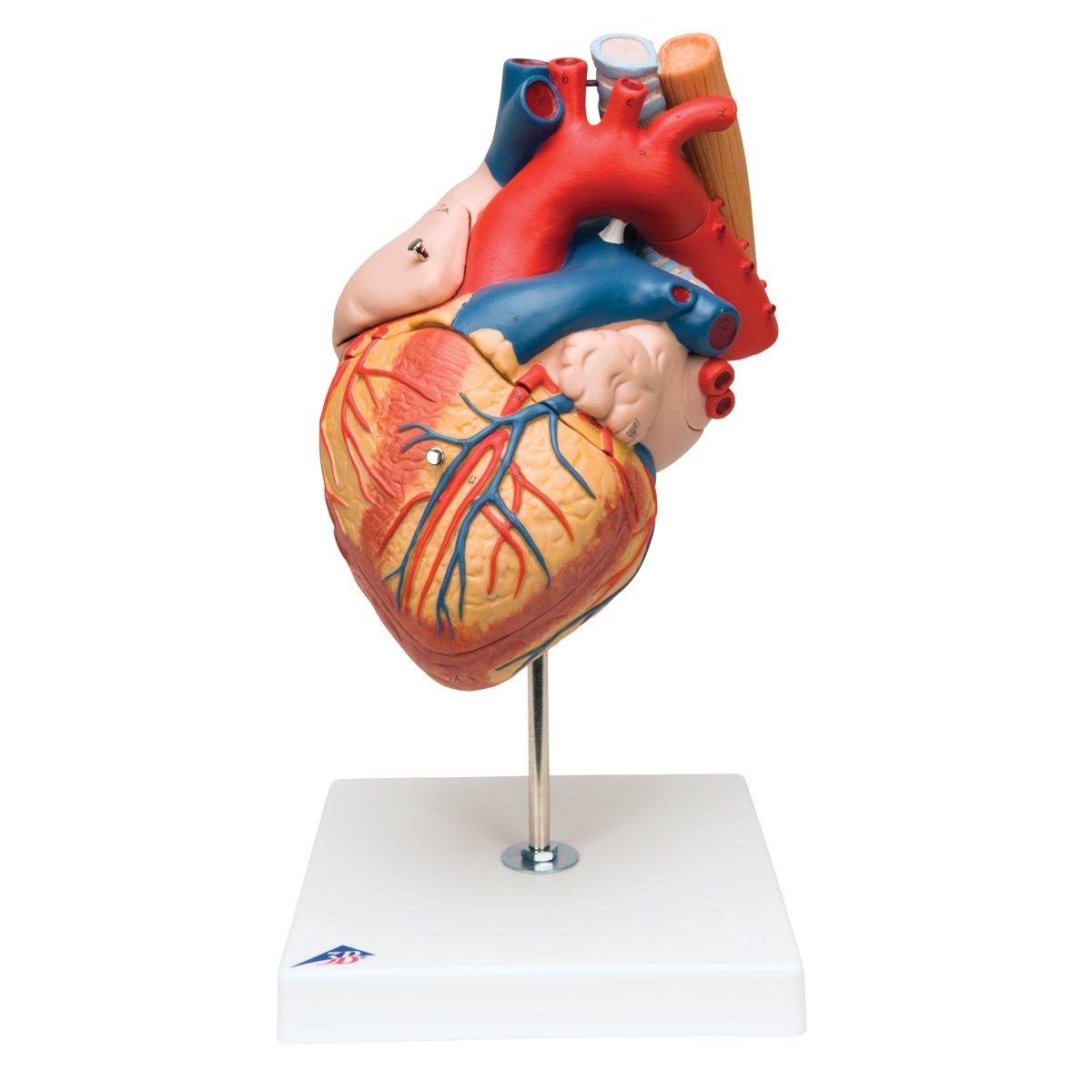 3B Scientific Menschliche Anatomie - Herz mit Luft- und Speiseröhre ...