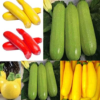 Bravet Vegetable Seeds - 20pcs Zucchini Seeds Organic Rare Multi Color Vegetables Zucchini Seeds Bonsai Garden : Garden & Outdoor