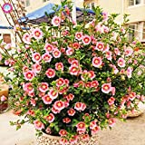 Bonsai Mini Botanical 200pcs Mixed Anisodontea capensis Mini Hibiscus Sun Botanical Plants Indoor Bonsai Flower Sementes for Home Garden