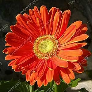 100 piezas Semillas Gerbera raras semillas de flor de la planta en maceta de Bonsai familiares Jardín colores mezclados perenne del crisantemo planta fácil de cultivar 4