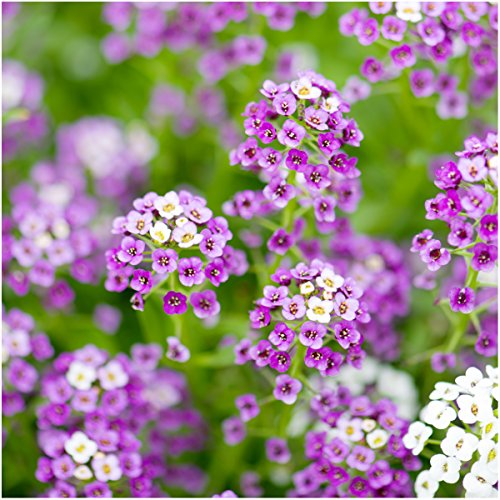Alyssum Carpet - Package of 5,000 Seeds, Royal Carpet Alyssum (Lobularia maritima) Open Pollinated Seeds By Seed Needs