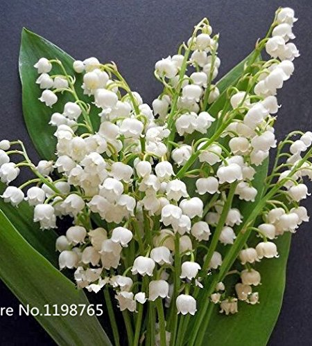 100 pcs Lily of the Valley flower seeds , bell orchid seeds,rich aroma ,bonsai flower seed, so cute and beautiful SVI