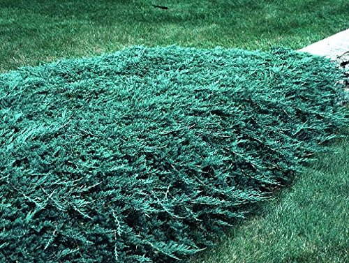 Blue Rug Juniper - 15 Live Plants - 4'' Container Low Maintenance Evergreen Ground Cover by Florida Foliage (Image #2)