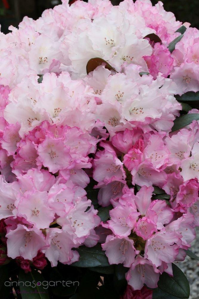 Rhododendron `Silberwolke´- INKARHO®-Pflanze Größe 60-70 cm Pflanzenhöhe