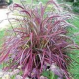 ADB Inc Half-hardy Perennial Pennisetum Setaceum 'Fireworks' Fountain Grass Seeds