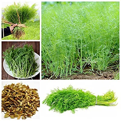 Fennel Herbs Seeds Europe Fragrant Bulb Fennel Seeds Fresh and Green Organic Vegetable DIY Home Garden Potted 100 Pcs/Bag : Garden & Outdoor
